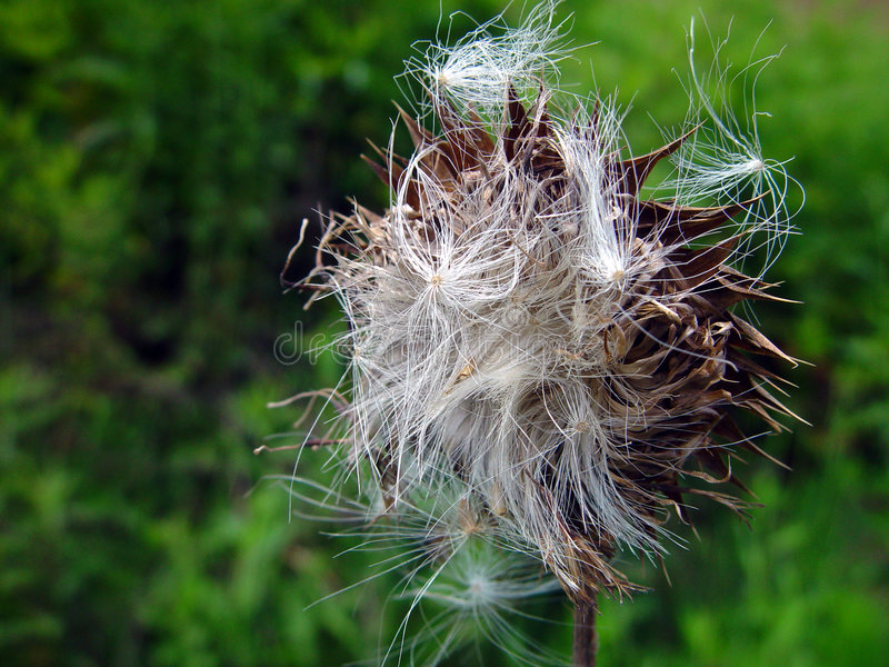 Thistle St семени Mary Стоковое Изображение