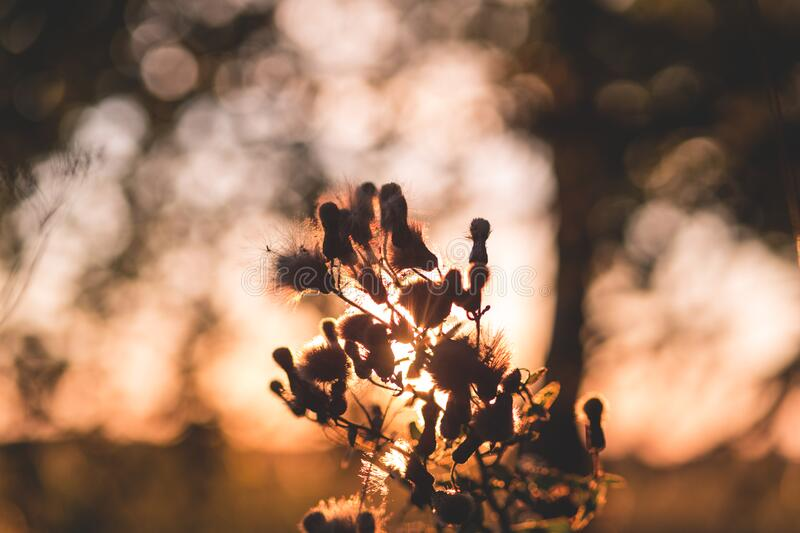 fb8254924f5 Free Public Domain CC0 Image  Thistle In Sunset Light Picture. Image ...