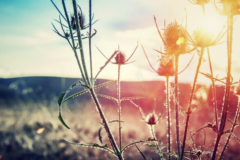 Thistle on sunset stock photo