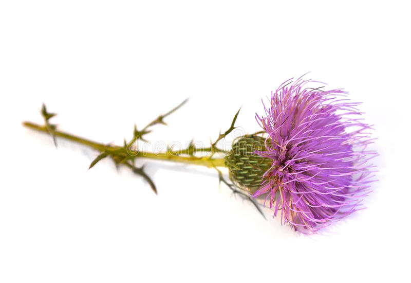 Thistle. Tall Thistle (Cirsium altissimum) on a white background royalty free stock photos