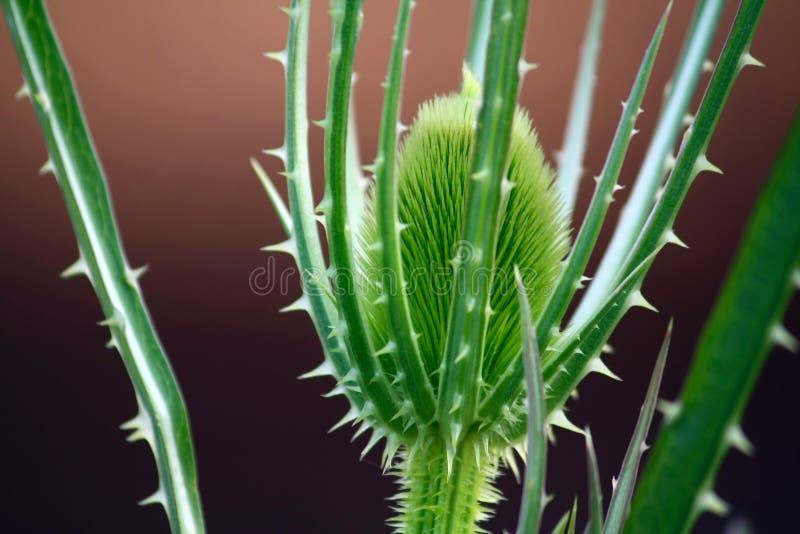 Thistle verde imagem de stock royalty free