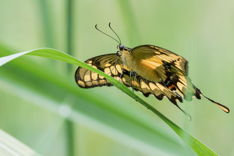 Thoas Swallowtail Butterfly. A Thoas Swallowtail Butterfly drying its wings after the rain stock images