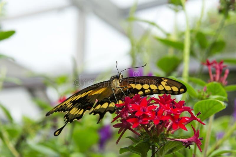 Thoas Swallowtail of Koning Swallowtail (Papilio-thoas) stock afbeelding