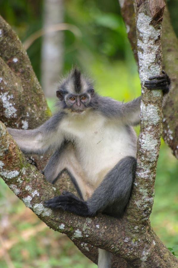Thomas bladapa som kyler i ett träd, Sumatra royaltyfri fotografi