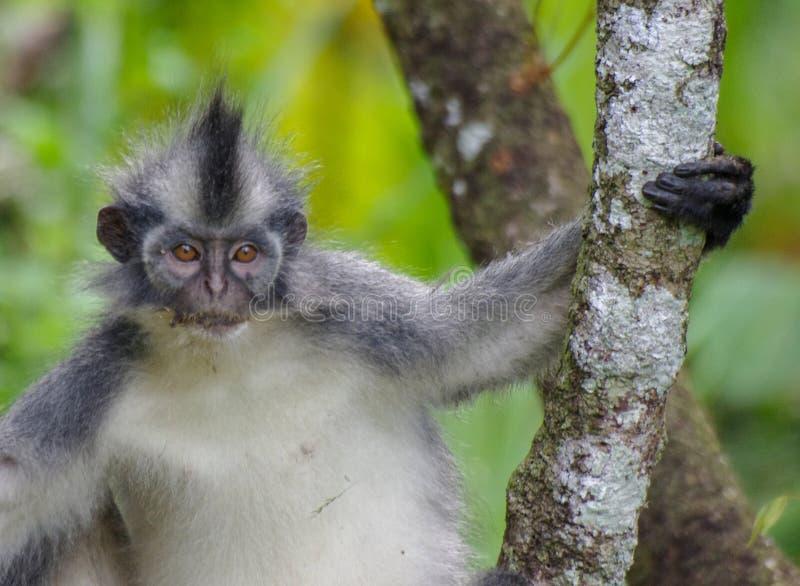 Thomas bladapa som kyler i ett träd, Sumatra fotografering för bildbyråer