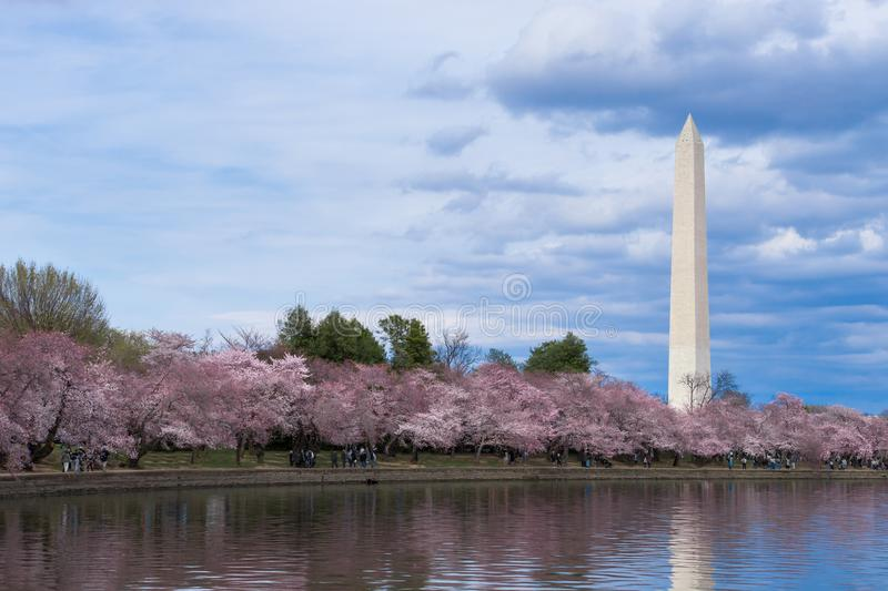 Thomas Jefferson Memorial durante Cherry Blossom Festival na bacia maré, Washington DC imagem de stock royalty free