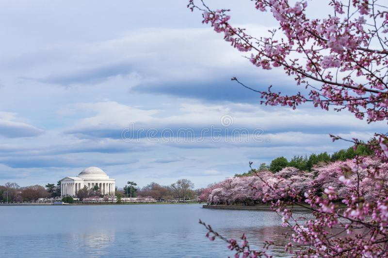 Thomas Jefferson Memorial under Cherry Blossom Festival på den tidvattens- handfatet, Washington DC royaltyfria bilder
