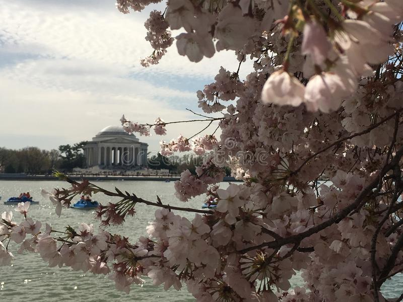 Thomas Jefferson Monument och Cherry Blossoms arkivbild
