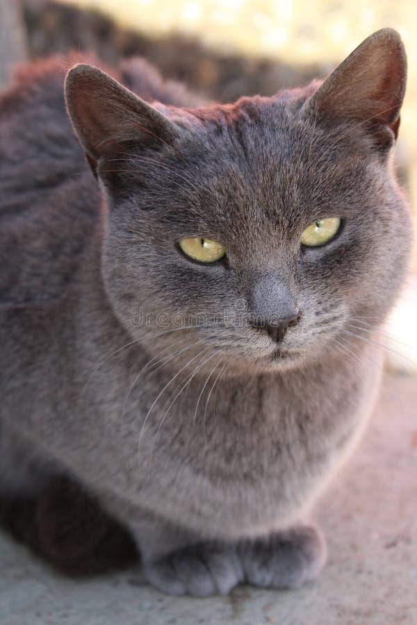 Thomas le chat grincheux de cendres photo libre de droits