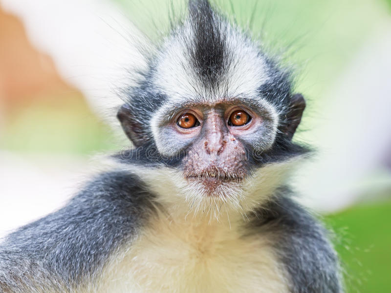 Download Thomas's leaf monkey stock image. Image of looking, closeup - 22822609