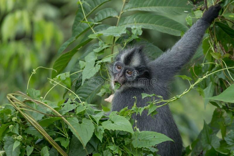 Thomasi Presbytis langur ` Томаса, также известное как обезьяна лист Томаса, в национальном парке Gunung Leuser, Суматра, Индонез стоковое фото rf