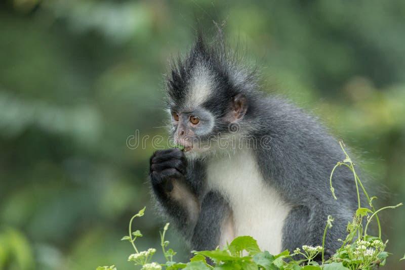 Thomasi Presbytis langur ` Томаса, также известное как обезьяна лист Томаса, в национальном парке Gunung Leuser, Суматра, Индонез стоковые изображения