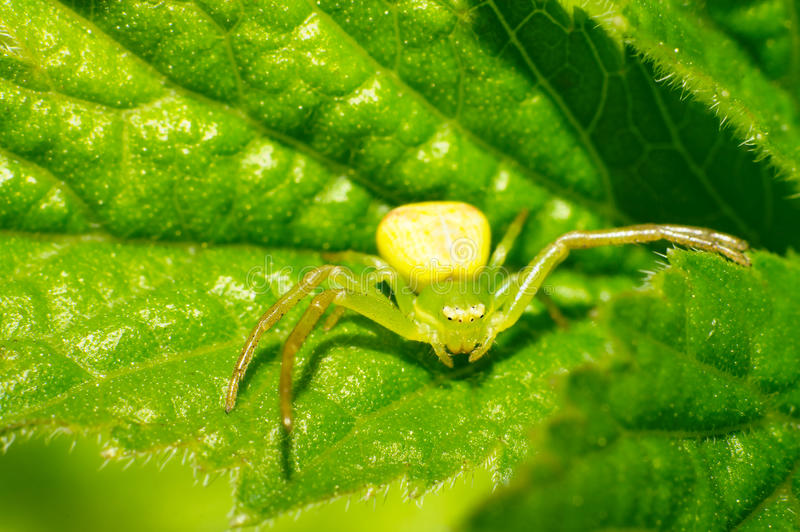 Download Thomisidae stock image. Image of colorful, araneae, goldenrod - 25451417