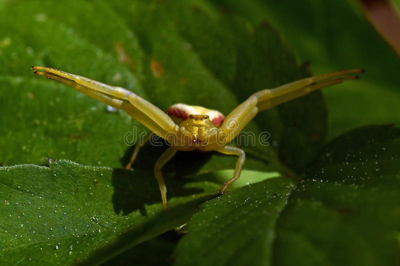 Thomisidae Misumena vatia, Crab spider in catch pos. Thomisidae Misumena vatia, Crab spider macro,  in a catch pos royalty free stock images