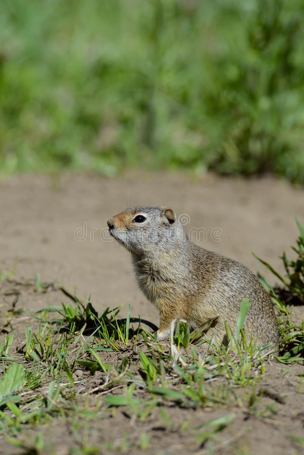 Download Thompson's Ground Squirrel Stands Near His Den. Stock Image - Image of cute, close: 33291989