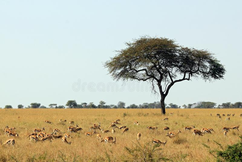 Thomson's Gazelles στη σαβάνα στοκ φωτογραφίες με δικαίωμα ελεύθερης χρήσης