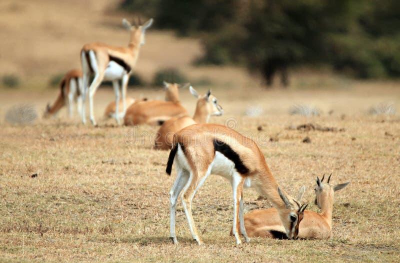 Thomsonâs Gazelles arkivfoton