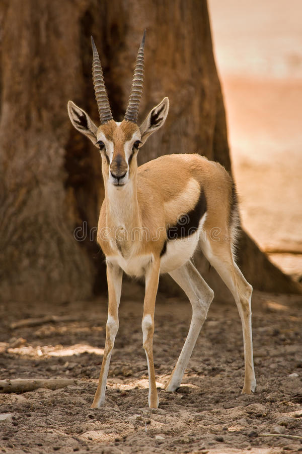 thomson de la gazelle s photo stock