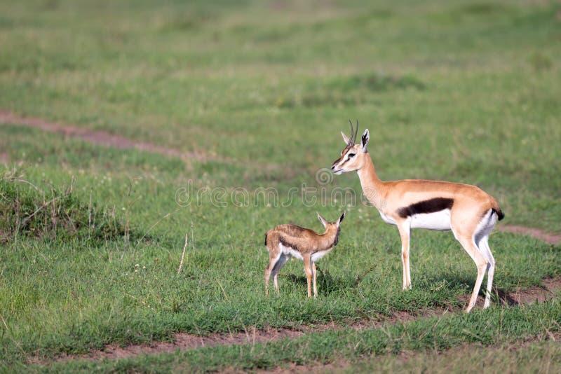 Thomson gazela z jej potomstwami w sawannie obrazy stock