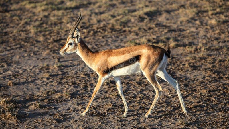 Thomson gazeli Eudorcas thomsonii odprowadzenie na ziemi bez trawy, boczny widok fotografia royalty free