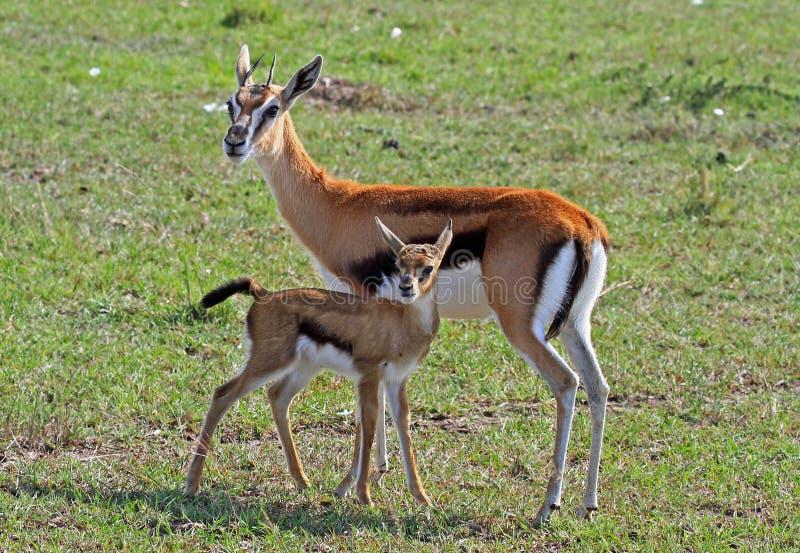 Thomson gazeli królica i jej łydka na równinach w Kenja zdjęcia stock