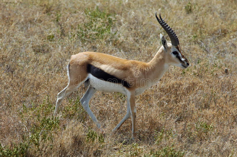 Thomson gazelle. A male Thomson gazelle in the Serengeti National Park. Tanzania stock images