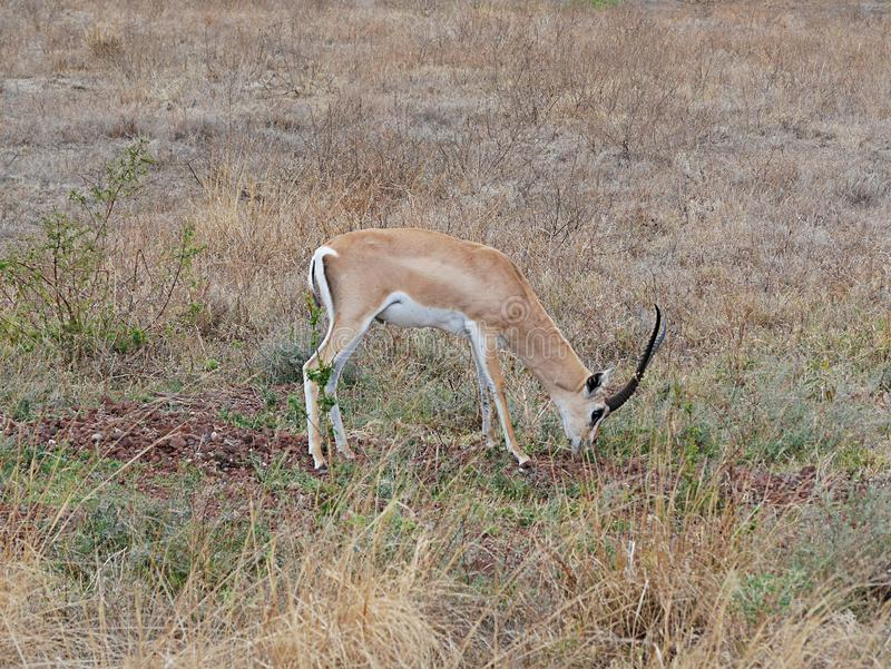 Thomson Gazelle close-up on safari in Tarangiri-Ngorongoro. Thomson Gazelle on Safaris in Tarangiri-Ngorongoro, safari, savannah, gazelle in the wild, wildlife royalty free stock images