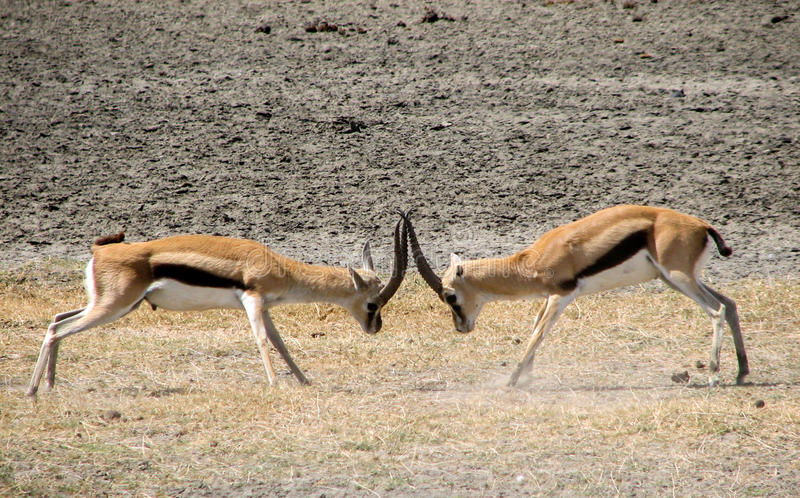 Thomson gazelle fight. 2 male Thomson gazelles fighting stock photos