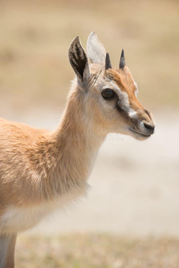 Thomson Gazelle joven imagen de archivo libre de regalías