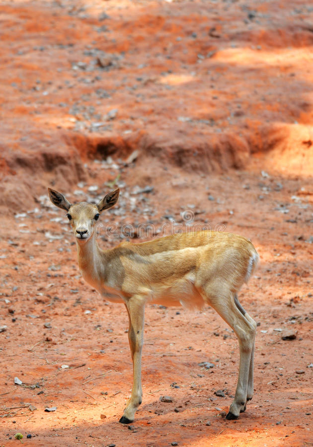 Thomson Gazelle joven fotos de archivo