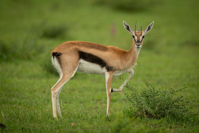 Thomson gazelle stands in grass lifting foreleg royalty free stock photography