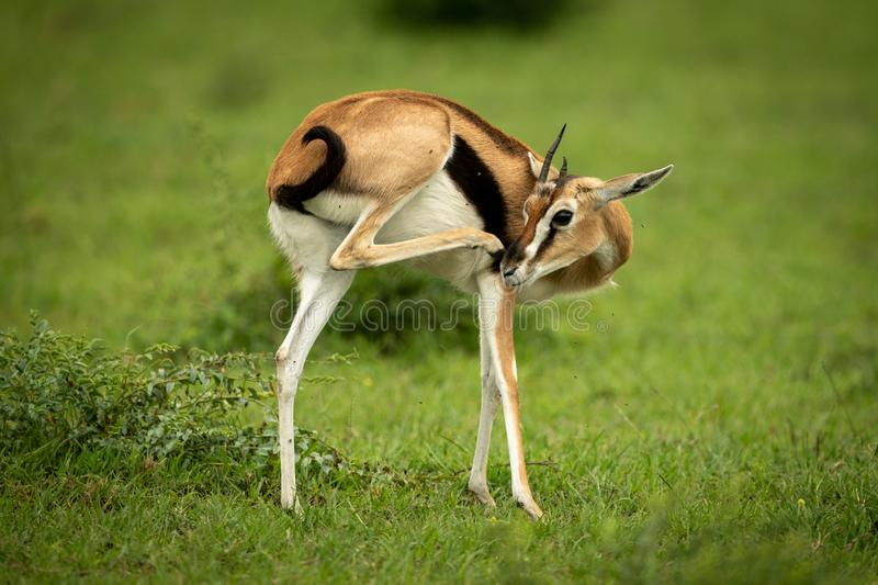 Thomson gazelle stands in grass scratching nose stock photography