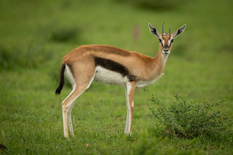 Thomson gazelle stands in grass watching camera stock photography