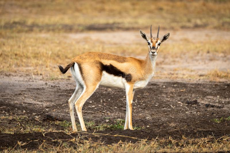 Thomson gazelle stands in profile watching camera royalty free stock image