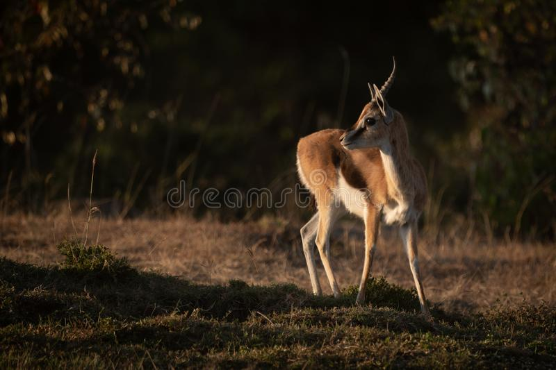 Thomson gazelle stands in savannah with catchlight stock images