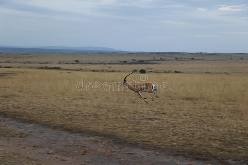 Thomson gazelle in the wild. Thomson gazelle running in the wild in massai mara national reserve stock photo