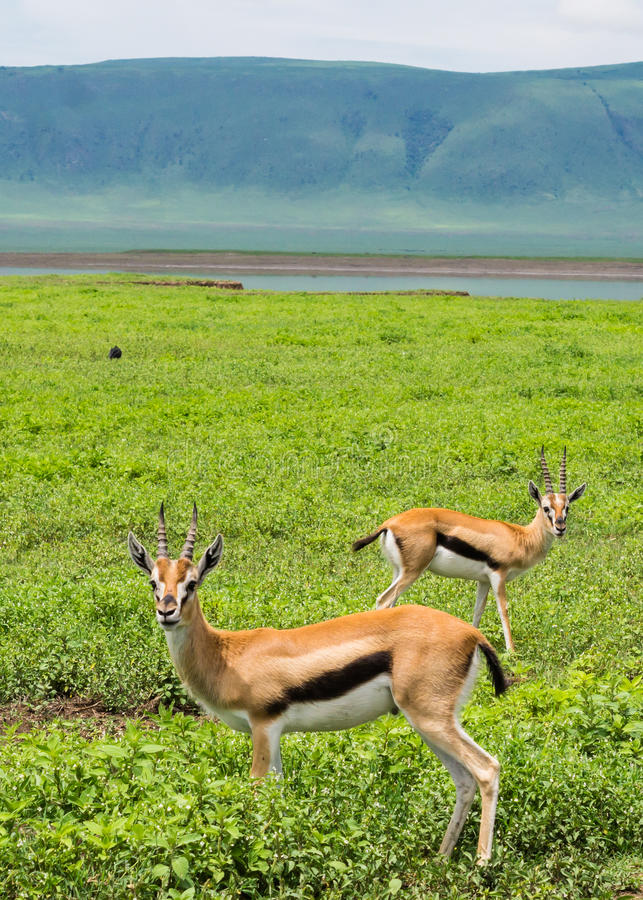 Thomson Gazelles imagem de stock