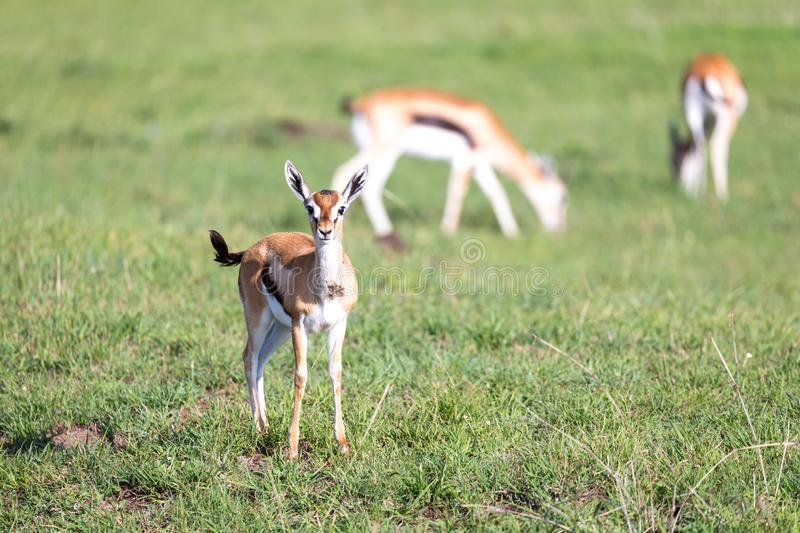 Thomson gazelles in the middle of a grassy landscape in the Kenyan savanna. The Thomson gazelles in the middle of a grassy landscape in the Kenyan savanna stock photography