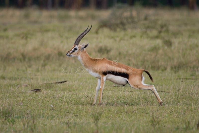 Thomson's Gazelle stock images