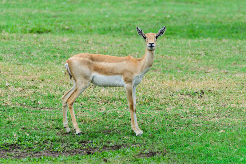 Thomson`s gazelle. Thomson`s gazelle childhood in the pastures, natural habitat royalty free stock photography