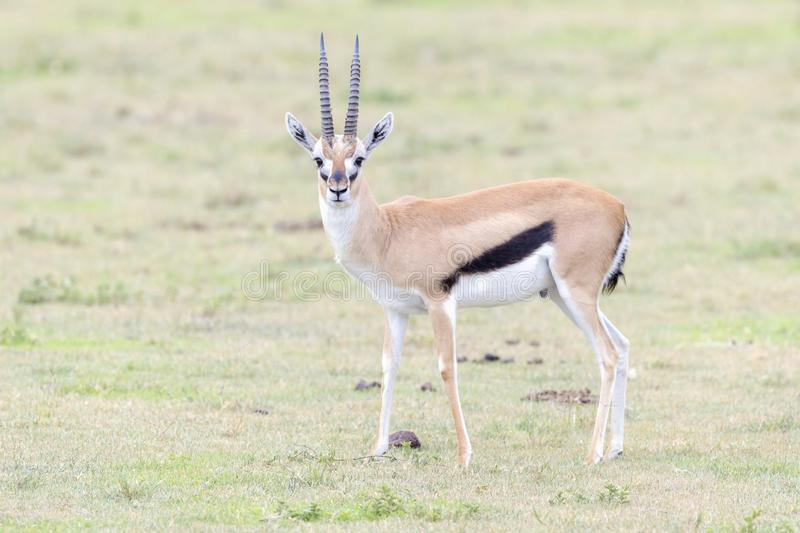 Thomson`s Gazelle standing on savanna. Thomson`s Gazelle Gazella thomsoni, buck. standing on savanna, looking at camera, Ngorongoro crater national park royalty free stock photography
