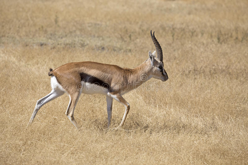 Thomson`s gazelle. Walking in the plain of Ngorongoro crater, Tanzania stock images
