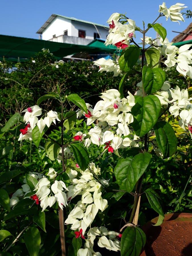 Thomsoniae de Clerodendrum foto de stock royalty free