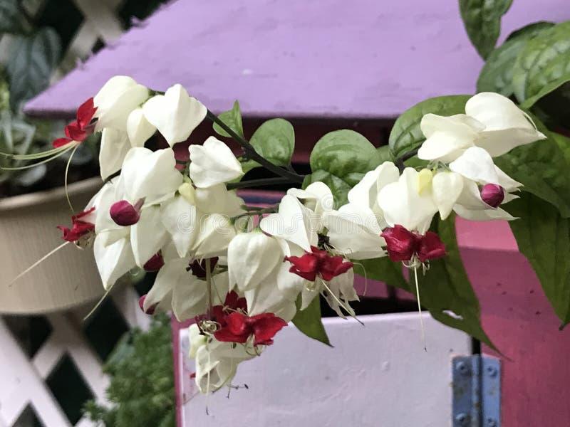 Thomsoniae de Clerodendrum ou flor da videira do Sangramento-coração fotos de stock royalty free