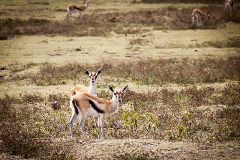 Thomsonii di Eudorcas delle gazzelle di due Thomson fotografie stock libere da diritti