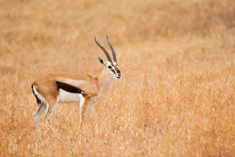 Thomsonii masculino de Eudorcas da gazela do ` s de Thomson fotos de stock royalty free