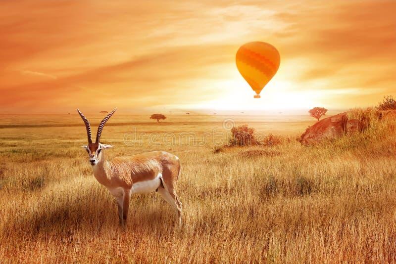 Thomsonii só de Eudorcas do antílope no savana africano contra um por do sol bonito com balão Paisagem africana imagem de stock