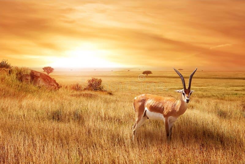 Thomsonii solo de Eudorcas del antílope en la sabana africana contra una puesta del sol hermosa Paisaje africano fotografía de archivo