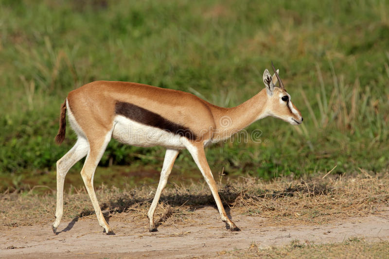 Download Thomsons gazelle stock photo. Image of tommie, park, fauna - 34883082