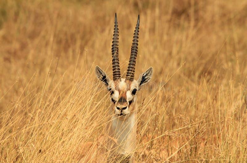 Thomsons Gazelle Headshot arkivbilder